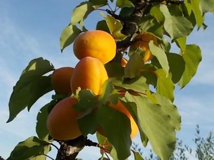 albicocche vertine (5)