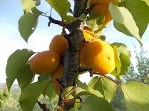 albicocche vertine (7)