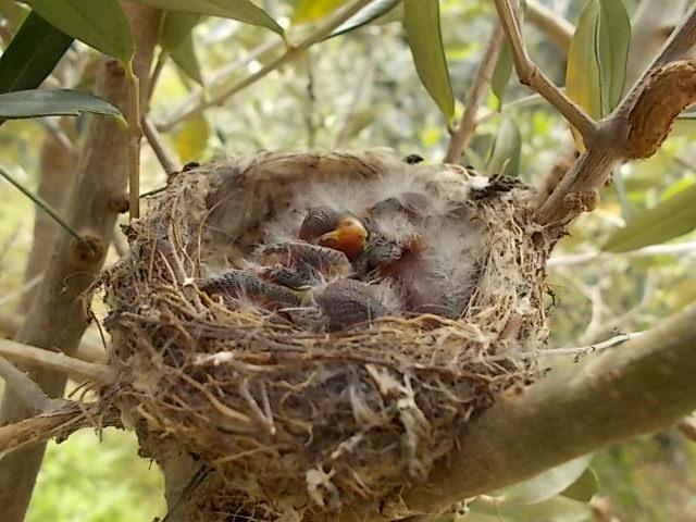 uccellini nel nido