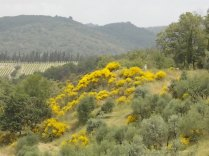 vertine ginestre fiorite (13)