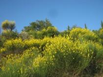 vertine ginestre fiorite (14)