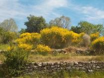 vertine ginestre fiorite (17)