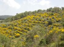 vertine ginestre fiorite (2)