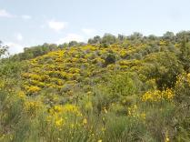 vertine ginestre fiorite (3)