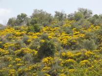 vertine ginestre fiorite (5)