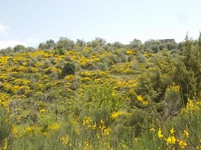 vertine ginestre fiorite (7)