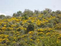 vertine ginestre fiorite (8)
