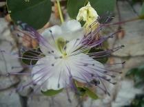 fiore di cappero (1)