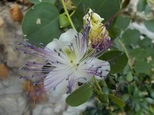 fiore di cappero (2)