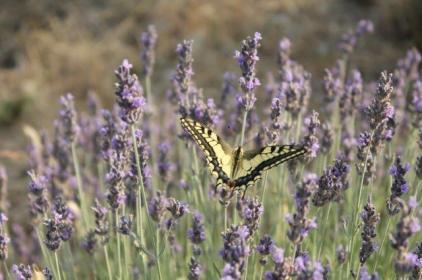 lavanda vertine e farfalla (3)