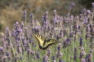 lavanda vertine e farfalla (4)