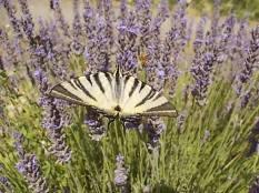 lavanda vertine e farfalla (6)