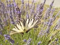 lavanda vertine e farfalla (7)