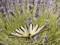 lavanda vertine e farfalla (8)
