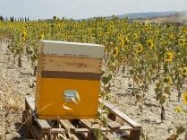 miele di girasole berardenga (17)