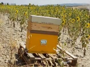 miele di girasole berardenga (18)