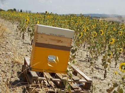 miele di girasole berardenga (19)