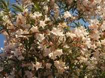 oleandri castiglioncello (3)