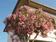 oleandri castiglioncello (6)