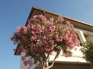 oleandri castiglioncello (7)
