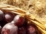 raccolta susine rosse vertine (12)