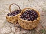 raccolta susine rosse vertine (16)
