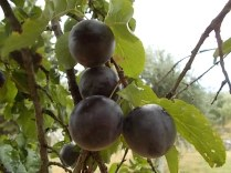 raccolta susine rosse vertine (3)