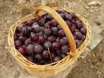 raccolta susine rosse vertine (8)