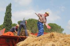 rievocazione battitura del grano asciano (3)