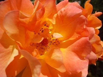 rosa profumatissima di rietine (12)