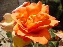 rosa profumatissima di rietine (2)