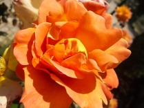 rosa profumatissima di rietine (3)