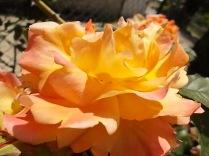 rosa profumatissima di rietine (4)