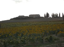 campo dei girasoli giganti (1)