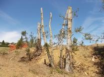 castelnuovo berardenga potatura pioppi alla winston churchill (4)