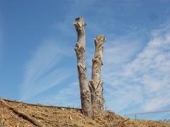 castelnuovo berardenga potatura pioppi alla winston churchill (5)