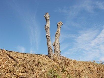castelnuovo berardenga potatura pioppi alla winston churchill (6)