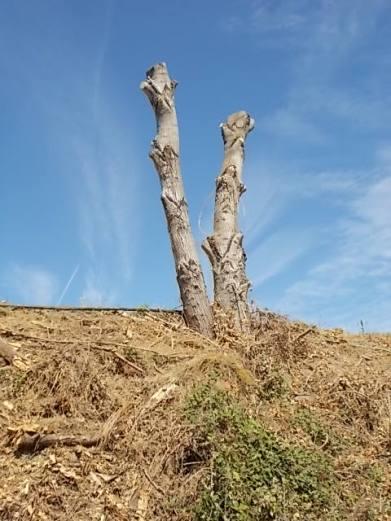 castelnuovo berardenga potatura pioppi alla winston churchill (7)