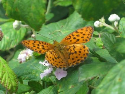 farfalla-di-mora-della-fonte-di-vertine-2