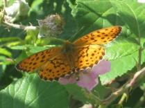 farfalla-di-mora-della-fonte-di-vertine