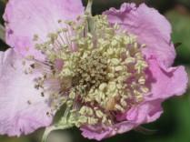 fiore-di-mora-della-fonte-di-vertine