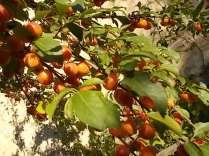 susine ciliegie di vertine (1)