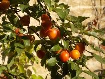 susine ciliegie di vertine (2)