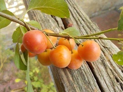 susine ciliegie di vertine (3)