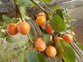 susine ciliegie di vertine (4)