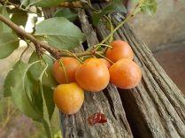 susine ciliegie di vertine (6)