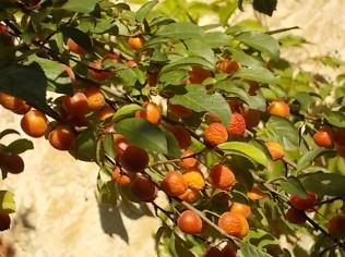 susine ciliegie di vertine (7)