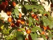 susine ciliegie di vertine (8)