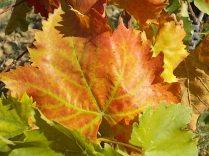 foglie di vite (1)