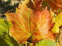 foglie di vite (2)